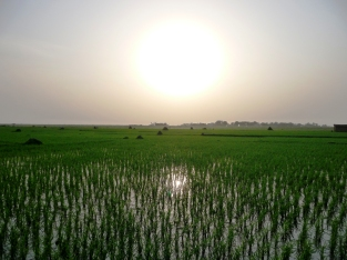 Bangladeshi Rice Fields