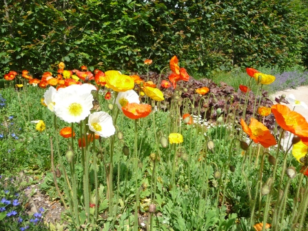 Poppies, beautiful poppies!
