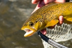Brown Trout Up Close, photo by by Jeff Golenski