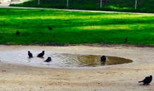 Birds enjoying puddles after the rain